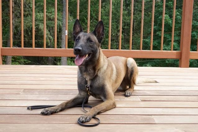 Available Dogs - CROSSFIRE MALINOIS
